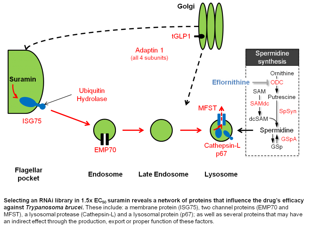 A network of proteins influences suramin efficacy