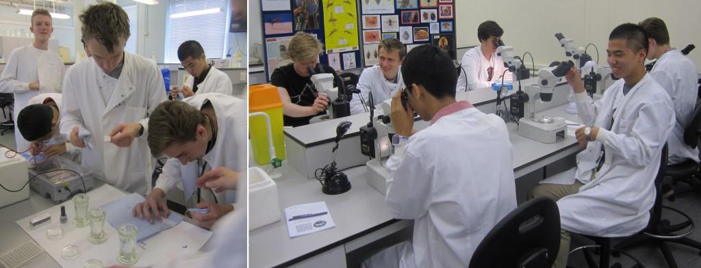 Preparing immunofluorescence slides and dissecting sandflies.