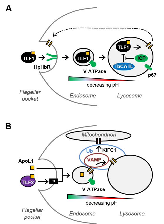 Models of TLF1 (A) and apoL1-TLF2 (B) uptake and intracellular transit (from Currier et al, PLoS Pathogens e1006855)
